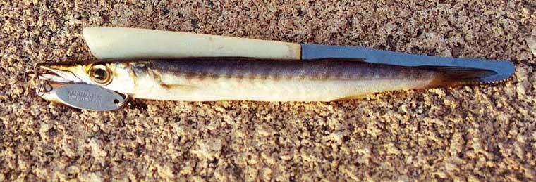 Baby Barracuda Fish Baby Barracuda
